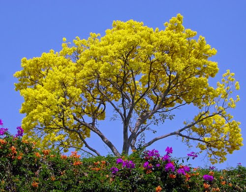 Yellow tree (common name: Guayacán)